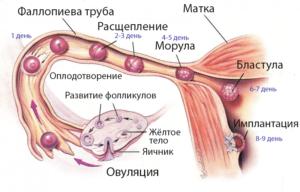 Схема - овуляция